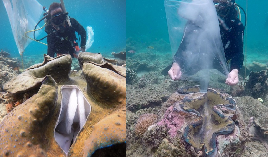 A PHILIPPINE FIRST: In-situ spawning of Palawan native or Philippines true giant clam successfully spawned with 9.5 million eggs fertilized in Puerto Princesa, Palawan on June 1, 2019.  (Photos courtesy of Malampaya Foundation Inc.)