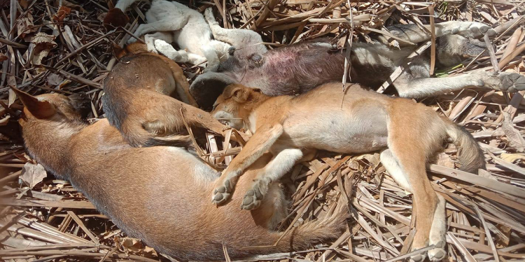 Five of the seven poisoned dogs. Photo courtesy of Key A. Lorenzo